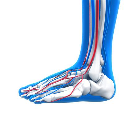 metatarsal: Human Foot Anatomy