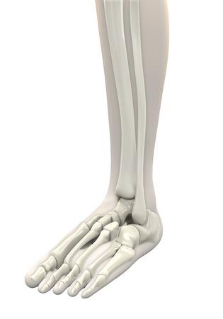 tarsal: Human Foot Anatomy