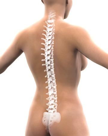 naked female: Human Spine Anatomy