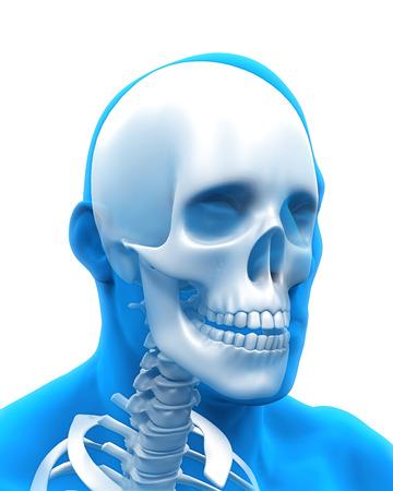 maxilla: Human Skull Anatomy Illustration