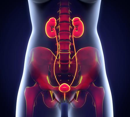cancer patient: Human Female Kidney Anatomy
