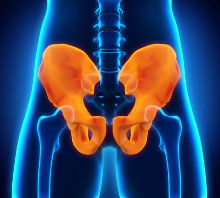 esqueleto humano: Anatomía del hueso de la cadera