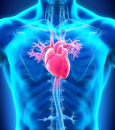 Anatomía del corazón humano Foto de archivo - 34999286