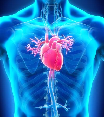 anatomie humaine: Anatomie humaine de coeur Banque d'images