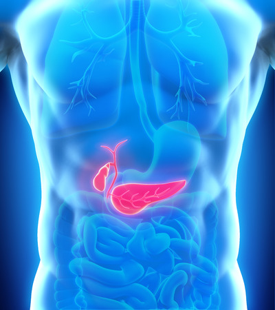 bile duct: Human Gallbladder and Pancreas Anatomy