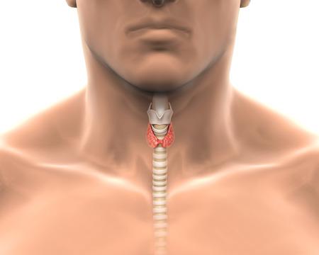 Human Thyroid Gland photo