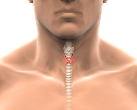 thyroid: Human Thyroid Gland