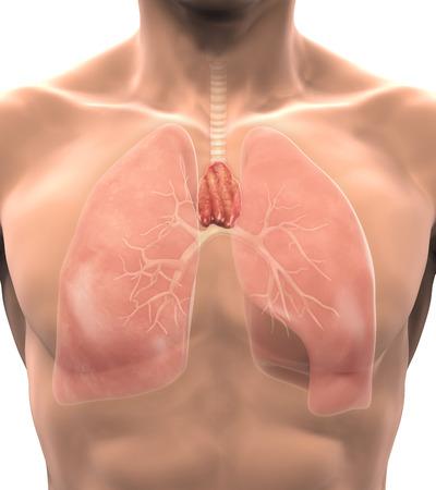thyroid: Human Thymus Anatomy