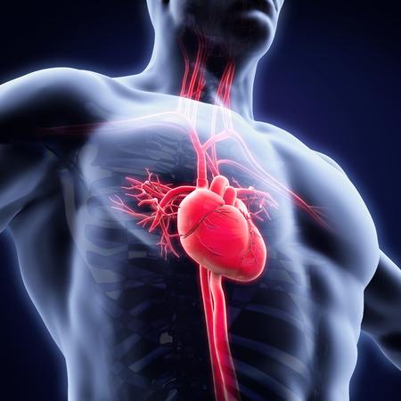 corazon humano: Anatom�a del coraz�n humano