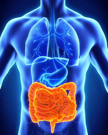 nude male body: Human Intestine Anatomy