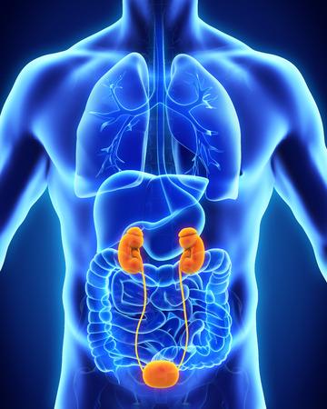 Human Kidneys Anatomy photo
