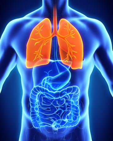 human chest: Human Respiratory System Stock Photo