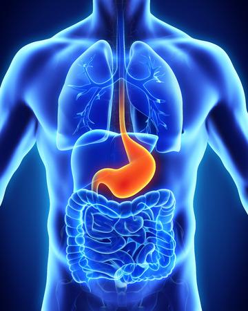 nude stomach: Human Stomach Anatomy Stock Photo