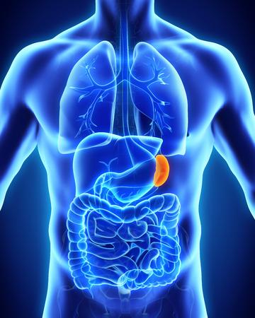 immune system: Human Spleen Anatomy