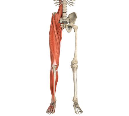 Legs Muscles Anatomy photo