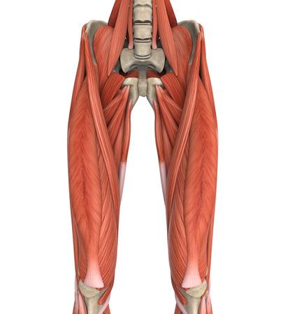 piernas hombre: Piernas m�sculos superiores Anatom�a