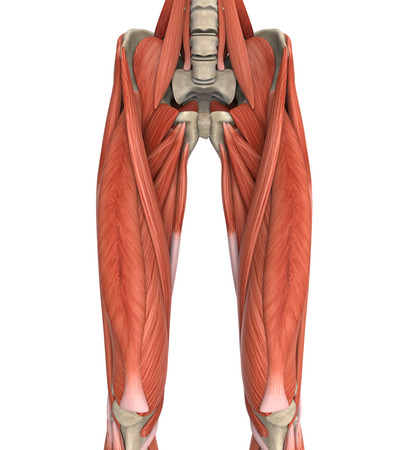 leg muscle fiber: Upper Legs Muscles Anatomy