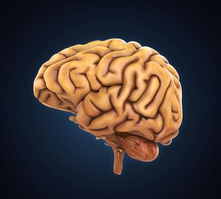 central cord: Human Brain Anatomy