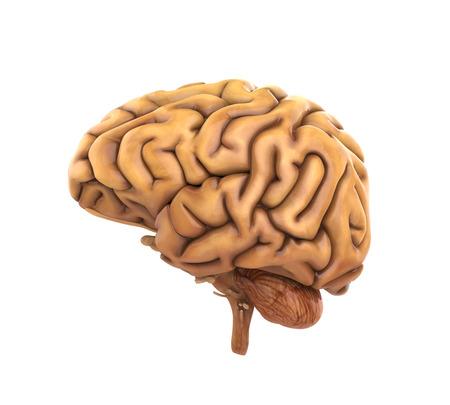 parietal: Human Brain Anatomy