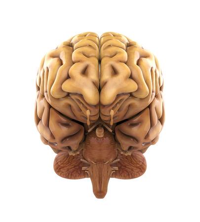 인간의 뇌는 해부학 스톡 콘텐츠