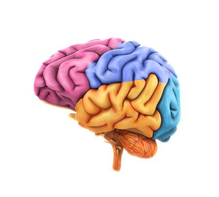 sistema nervioso central: Anatom�a del cerebro humano Foto de archivo