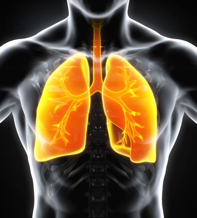 frontal sinuses: Human Respiratory System Stock Photo