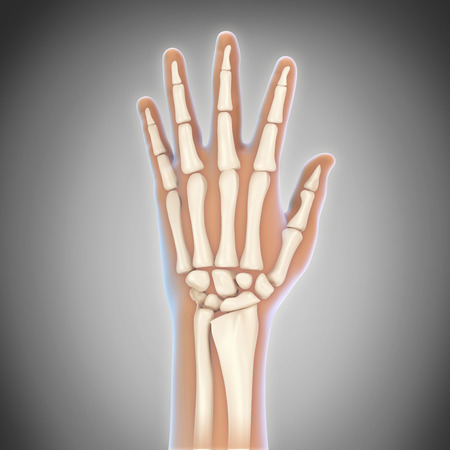 skin injury: Human Hand Anatomy Illustration Stock Photo