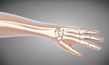 osteoarthritis: Human Hand Anatomy Illustration Stock Photo