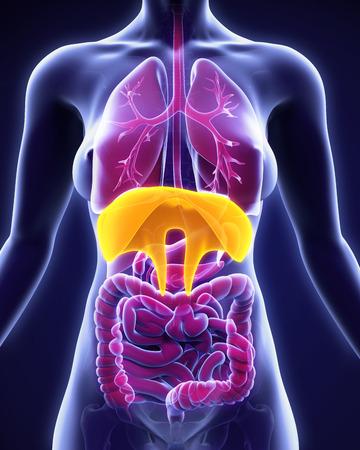 persona respirando: Anatom�a Humana Diafragma