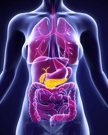 anatomia: La vesícula biliar y páncreas Anatomía Humana Foto de archivo