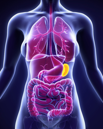 abdominal pain: Human Spleen Anatomy