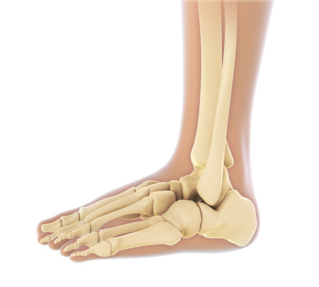 tarsal: Human Foot Anatomy