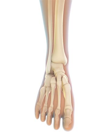 Foot Anatomy Tomburorddiner
