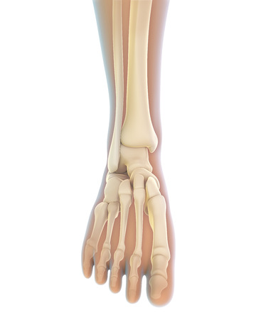 ligament: Human Foot Anatomy
