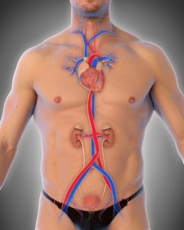 aortic: Thoracic Aorta Illustration Stock Photo