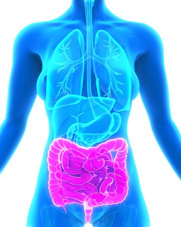 nude female: Human Intestine Anatomy