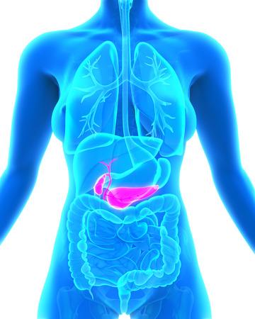 pancreas: Human Gallbladder and Pancreas Anatomy