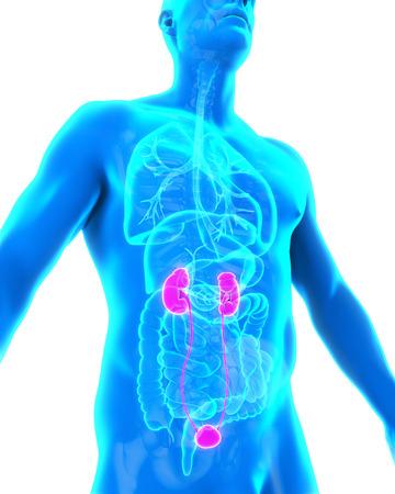 pene: Riñones Humanos Anatomía Foto de archivo