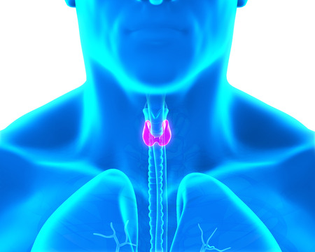 pharynx: Human Thyroid Gland