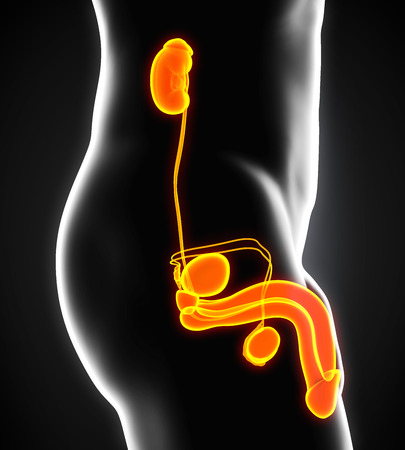suspensory: Male Genitourinary System Stock Photo