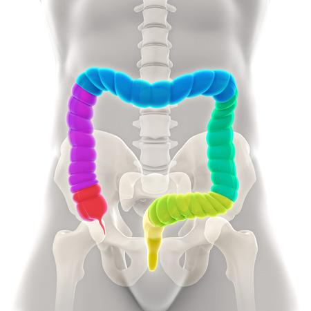 Menschlichen Dickdarm Anatomie Standard-Bild - 43462245