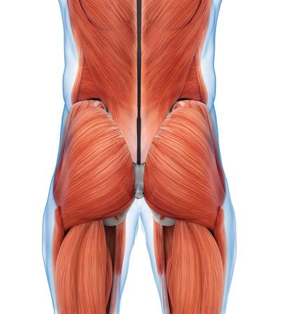 anatomía: Los músculos de glúteos Anatomía