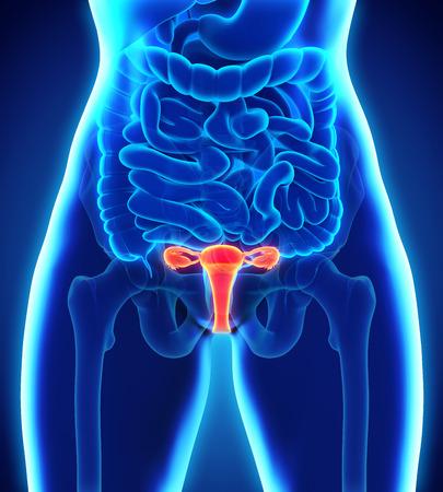 ovaire: Système reproducteur féminin