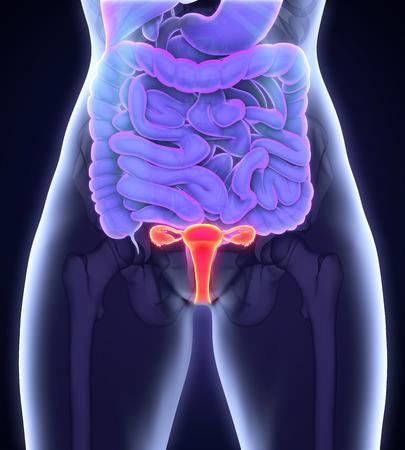 ovary: Aparato Reproductor Femenino