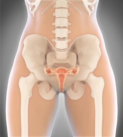 sistema digestivo: Aparato Reproductor Femenino