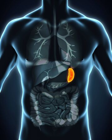 inflamed: Human Spleen Anatomy
