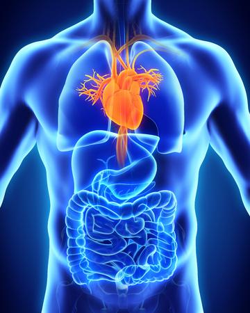 cuerpo hombre: Anatomía del corazón humano