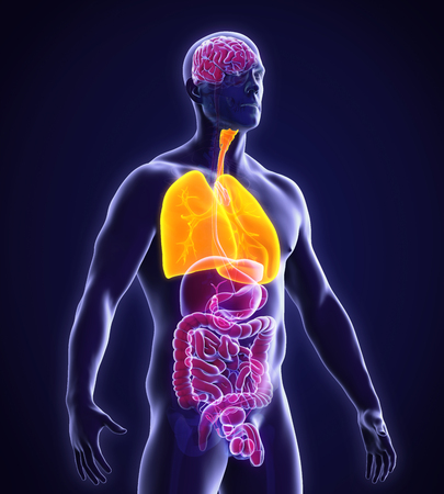 system: Human Respiratory System Stock Photo