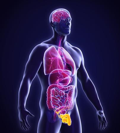 aparato reproductor: Anatomía masculina Sistema reproductor