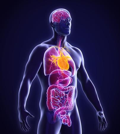 anatomia: Anatomía del corazón humano